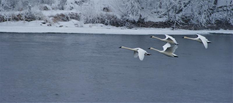 Trumpeter Swans flying low over the Mississippi River with trees covered in a foggy frost.