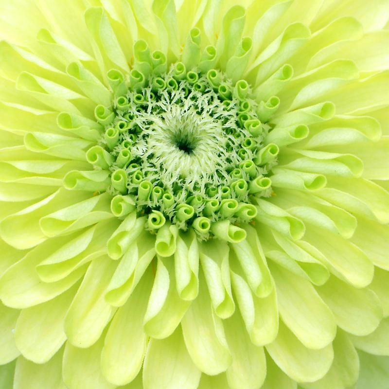 A close-up photograph of a lime green zinnia flower. The concentric layers of rounded petals gradate from bright green at the center to pale yellow at the edges.