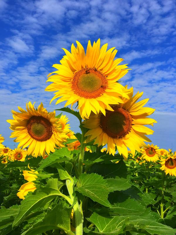 Three sunflower blooms in a triad in the center of the frame, with a field of sunflowers behind; blue sky and white clouds behind.