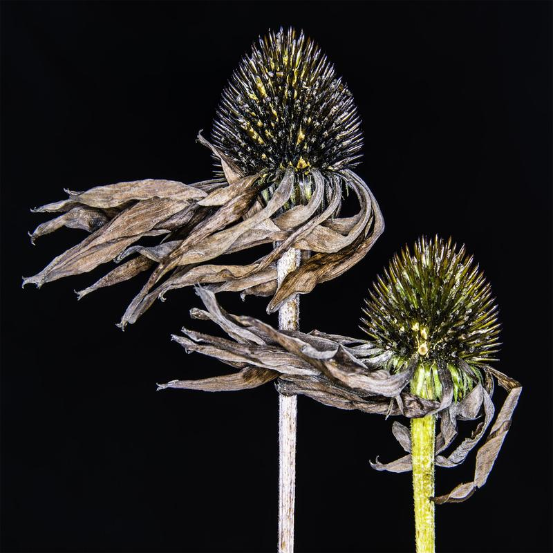 Two cone flowers of different height that were killed by frost, and wind blown such that the petals of the flowers are all bent like streamers to the left side of the image