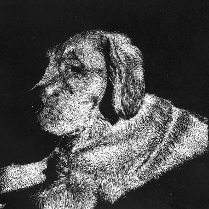 Scratchboard drawing of a golden retriever sun bathing laying down. Viewing the left side of the dog looking at something in front of him.