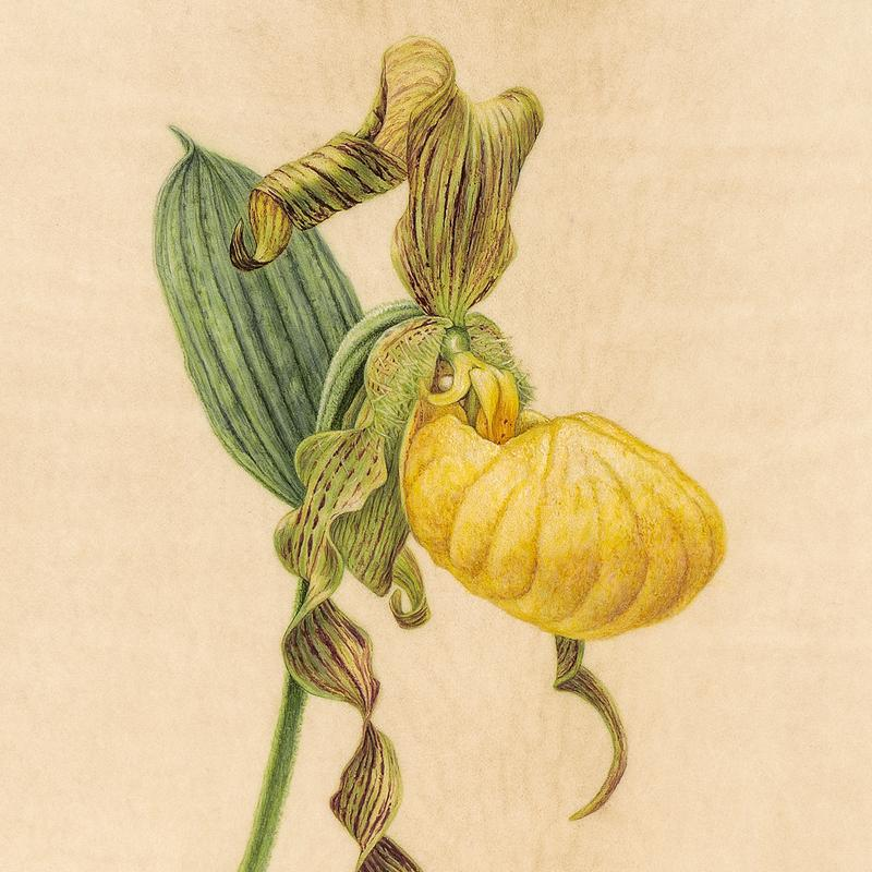 A detailed botanical painting of a yellow slipper-orchid flower.