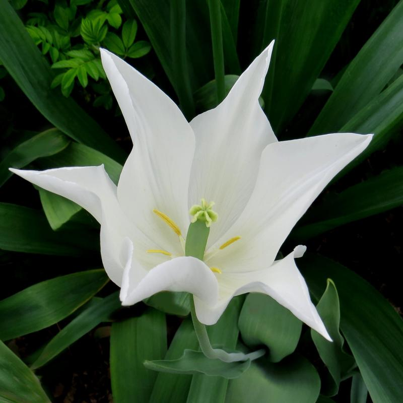 Center focus: a white tulip whose petals form a perfect star.  Soft green leaves surround it.