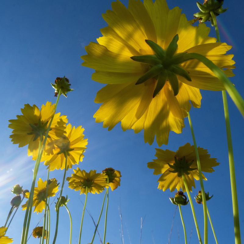 From ground level, looking straight up at a bright, blue sky punctuated by clusters of sun-drenched yellow prairie flowers kissed by the sun's rays.