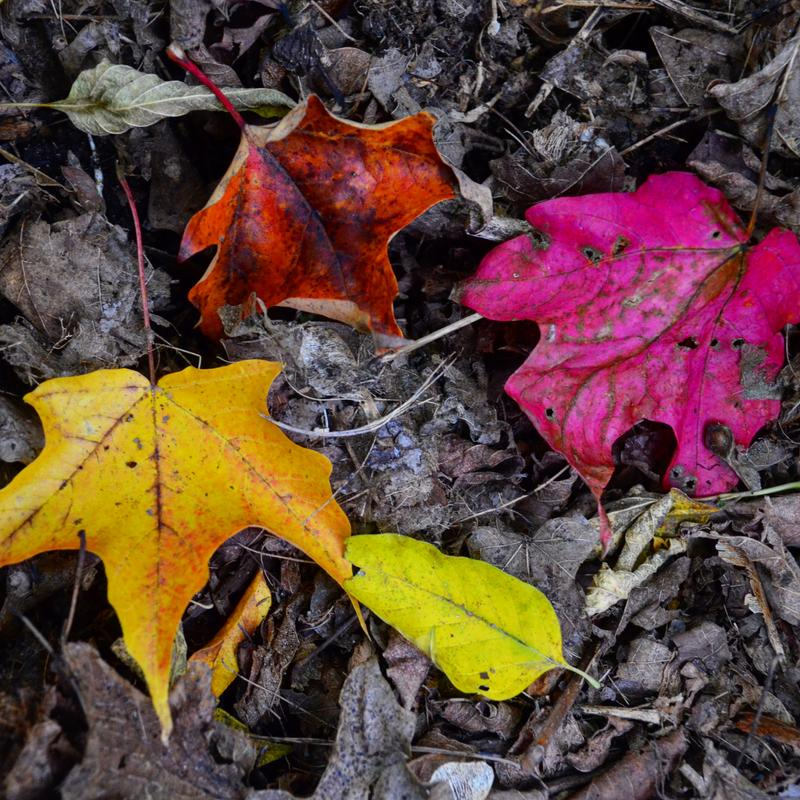 A photograph of four vivid autumn pink, yellow, green, and red leaves lying among desolate grey leaves.
