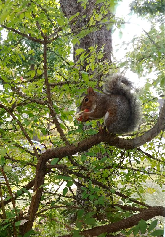 Picture of squirrel enjoying an apple in the burning bush.
